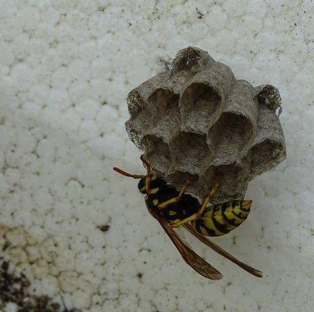 start van een wespennest