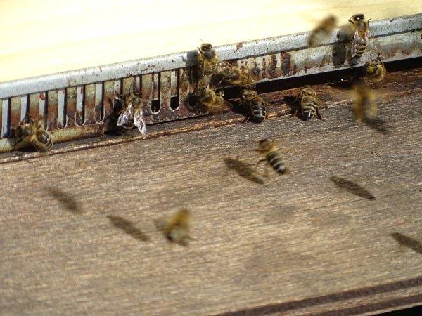 bijen in de biogroei tuin