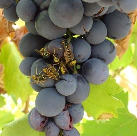 wespen en druiven